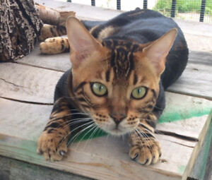 Bengal male brown marbre 2 ans