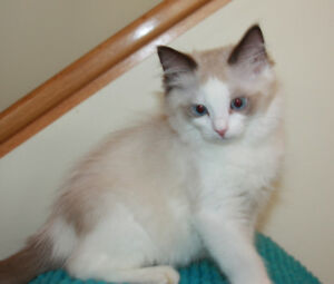 Ragdoll kittens and Young adults