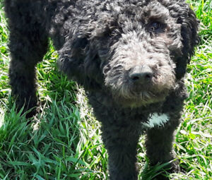 Standard Poodle Male Puppy ~  Price reduced