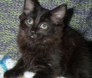 Ebony, Maine Coon Mix