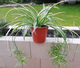Large spider plant house plant