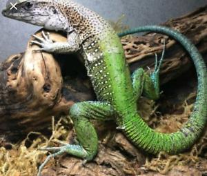 few reptiles avb