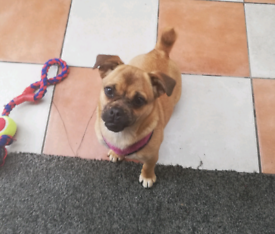 Chug | Dogs & Puppies for Sale - Gumtree