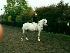 15.2 Appaloosa Mare for sale