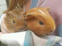 Baby guinea pig brothers