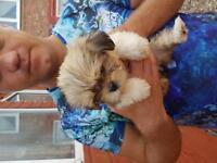 Lhasa aspo puppys