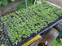 Bedding plants for sale
