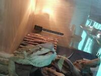 Bearded dragon for adoption.(free)