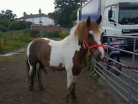 Stunning skewbald gelding for sale