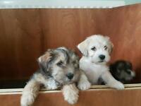 Snapso pups lhasa apso x miniature schnauzer