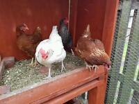 4 free range hens