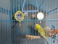 Two lovely budgies