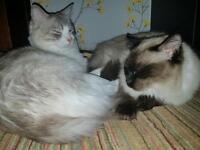 Rag Doll Cats