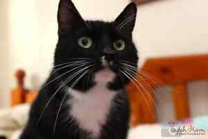 Lilly rescue CAT available for adoption VET WORK INCLUDED Bertram Kwinana Area Preview