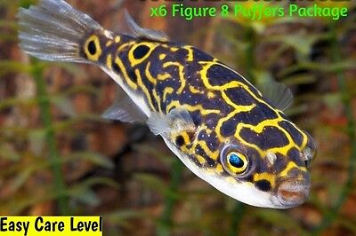 "x8 FIGURE EIGHT PUFFER FISH - LARGE 2 1/2 - 3 1/2"" EACH -  FRESHWATER FISH"