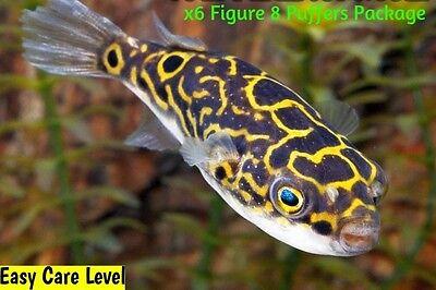 x8 FIGURE EIGHT PUFFER FISH TETRAAODON BIOCELLATUS FRESHWATER FISH INVERT