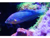 Marine fish - Fairy Wrasse
