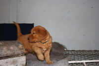 CKC REG,D golden retriever puppies