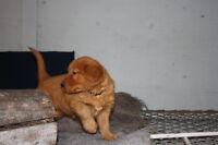 CKC REG,D golden retriever puppies