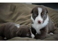 Stunning Border Collie Puppies Brown & White with Blue Eyes