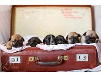 CMR1 HUU DM Clear French bull dog puppies