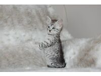 Pedigree Silver Egyptian Mau kittens