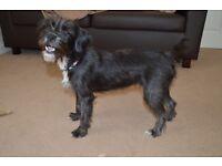 Female Australian Terrier X Jack Russell Puppy