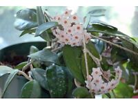Hoya Carnose plants .This flowering plants can grow to 8ft and can be used as a trailer