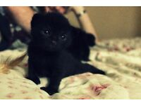 4 black kittens looking for home!!!