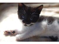 2 Kittens for Sale, Black/White 1 Female & 1 Male, Playful, Litter Trained, Flead & Wormed