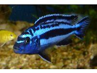 Tropical fish Maingano cichlid
