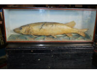 VICTORIAN SCOTTISH TAXIDERMY PIKE IN ORIGINAL DISPLAY CASE
