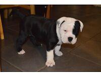 Olde Tyme Bulldog Puppy