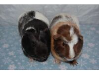 2 boars (male) Guinea pigs for adoption