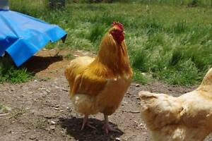 LARGE WORKING VACCINATED BUFF ORPINGTON ROOSTERS 16 MONTHS OLD Gordon Moorabool Area Preview