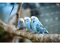 BABY BUDGIES WANTED