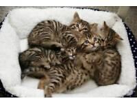 Stunning golden spotted kittens