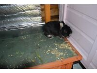 pure bred Netherland dwarf looking for retirement home