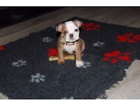 *****Kc reg English TRI bulldog GIRL LAST 1 LEFT*****