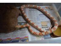 Candy Cane Corn Snake