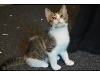 1 Male Kitten Cat - Ready to go to good home