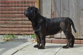 Olde English Bulldog Pup