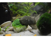 3 male bristlenose pleco looking for forever homes.