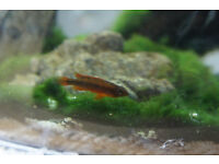 Apistogramma agassizii Double Red Female South American Cichlid Aquarium Tropical Fish