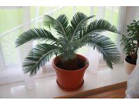 Cycas house plant palm tree
