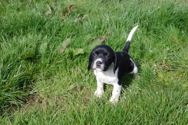 Spreagle Puppies For Sale In Exeter Devon Gumtree