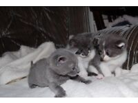 Kittens Grey and White