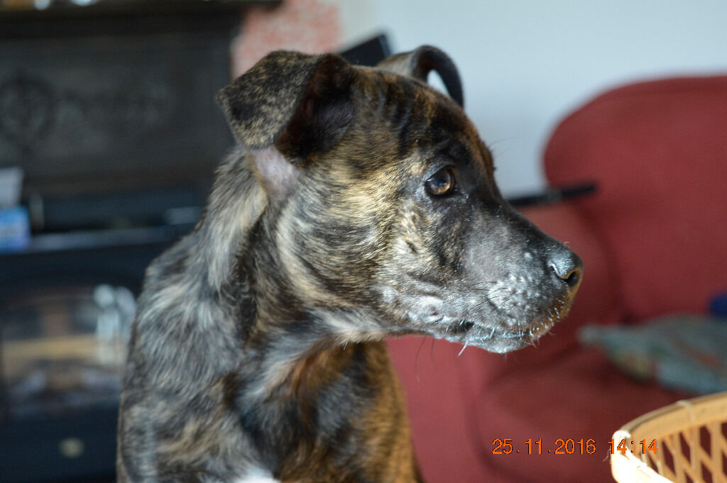 Cross Breed Dogs For Sale Gumtree