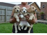 Puppies In Lincolnshire Dogs Puppies For Sale Gumtree
