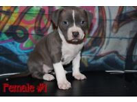 ** American Xl Bully Puppies**